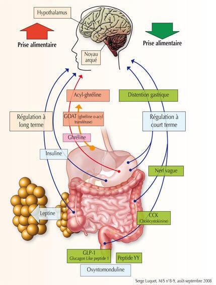 dose di grasso viscerale inulina