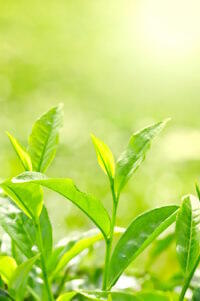 Was heißt grüner Tee, um Gewicht zu verlieren