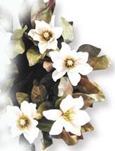 l 39 extrait de magnolia stress et sommeil nutranews. Black Bedroom Furniture Sets. Home Design Ideas
